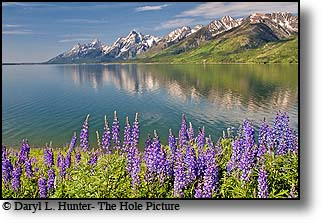 Grand Teton reflection, Jackson Lake, Lupine, wildflowers, Grand Teton Park