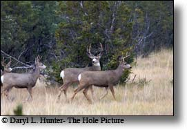 Buck, doe, herd, whitetail, deer, paradise valley montana