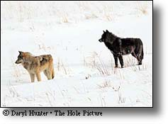 Two Wolves, Lamar Valley