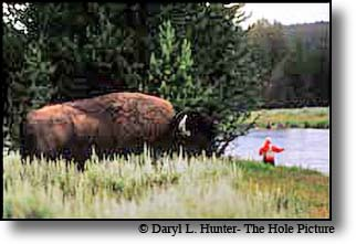 bison, fly-fisherman, yellowstone river