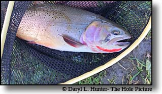 The Yellowstone River produces some huge Cutthroat Trout