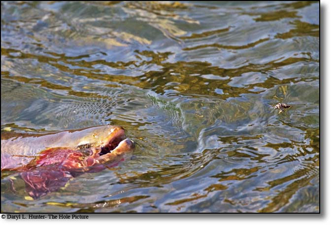 Trout rising for Salmon Fly
