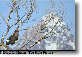 Bald Eagle takes flight in Grand Teton National Park