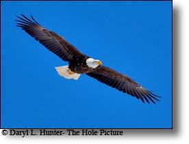 Yellowstone Bald Eagle...