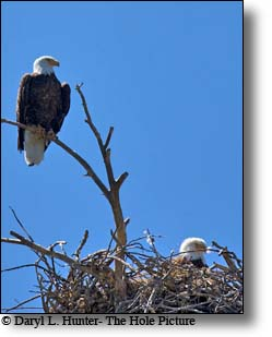 Two Bald Eagles minding their nest in Yellowstone National Park