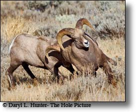 fighting, bighorn sheep rams, Jackson Hole, Wyoming