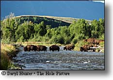 Bison Crossing River in Jackson Hole Wyoming