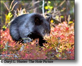 cub of the year, black bear, huckleberry bushes