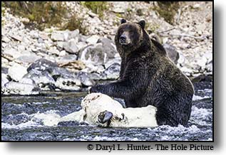 Grizzly eating bision in the Yellowstone River