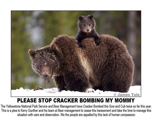 Yellowstone Bear Management