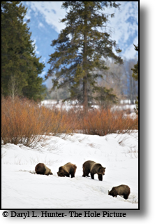 Grizzly Sow 610 from 399's first crop of triplets during their second spring foraging for food in the deep snow.
