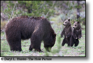 Grizzly 399 and two of three cubs