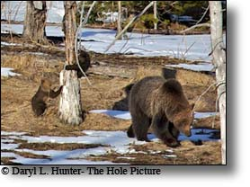 Grizzly Sow and Cubs up tree