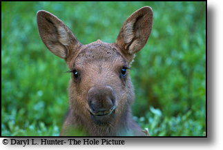 Baby moose, beautiful, Yellowstone National Park