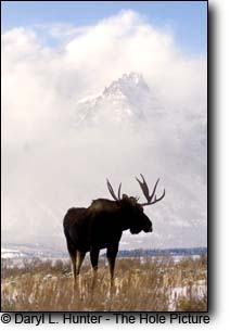 Bull moose, Grand Teton Mountains, Grand Teton National park