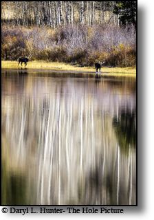 Moose walking the shore of Two Ocean Lake dring autumn in Grand Teton National Park,