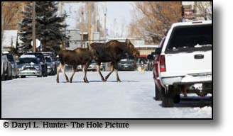 Moose Family, downtown, Jackson Hole, Wyoming