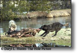 Wolves eating bison carcass at the Gibbon River