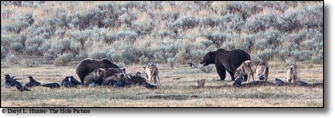Grizzly bears, Wolves, Bison carcass, Yellowstone National Park