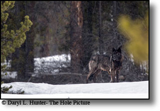 Black Wolf, forest, Grand Teton National Park, Wyoming