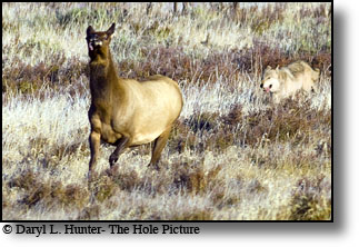 wolf chasing elk, prey, predator, yellowstone, survival