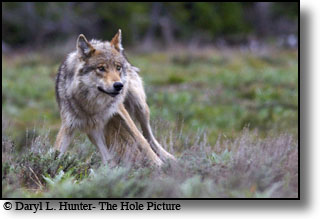 Alpha female wolf, yellowstone, grand teton park, wyoming