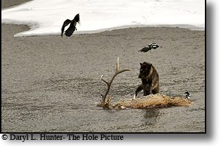 Black wolf, bull elk carcass, lamar valley, yellowstone national park