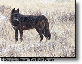 Black wolf of the Lamar Pack that roams the Lamar Valley in the winter and Spring.