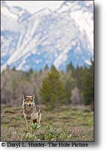 Pacafic creek wolf, alpha female, grand teton national park