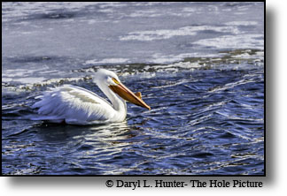 Pelican crusing for a trout