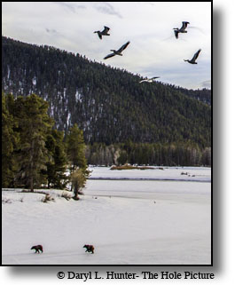 Pelicans, Grizzly Bears