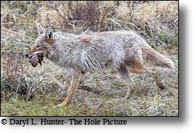Coyote bring a hunk of meat from a kill back to its den