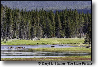Elk herd crossing the Yellowstone River