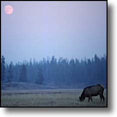 cow elk, full moon, Yellowstone National Park