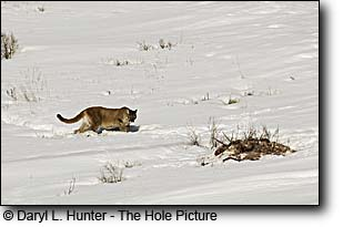 Mountain Lion and kill, a buck deer