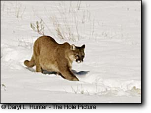 Mountain Lion in Snow, Jackson Hole Wyoming