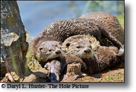 River otters, trout lake, Yellowstone National Park
