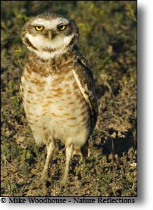 Burrowing Owl, Mike Woodhouse photo