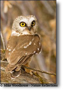 Saw-whet Owl, Mike Woodhouse photo