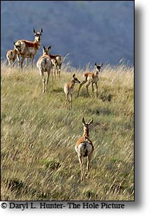 herd of Pronghorn Antelope, Bighorn Basin Wyoming