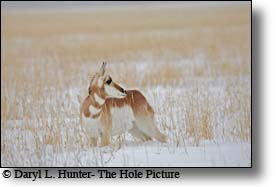 Pronghorn antelope, yellowstone